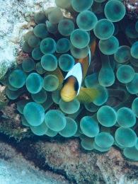 Anemone Fish (Amphiprioninae)