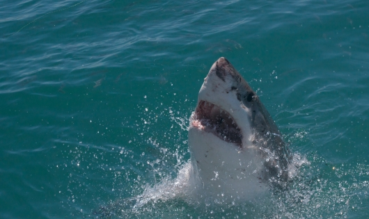 Great White Shark (Carcharodon carcharias), Gansbaai, South Africa